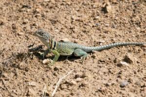 Annoyed Lizard